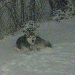 Michael Lee Henry's husky, Buckeye, enjoys the snow on Dec. 11 in Cleveland.