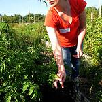 Danelle Meeker, a volunteer from Cleveland, picks cherry tomatoes at George Jones Memorial Farm on Sept. 8. STEVE MANHEIM/CHRONICLE