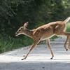 deer :